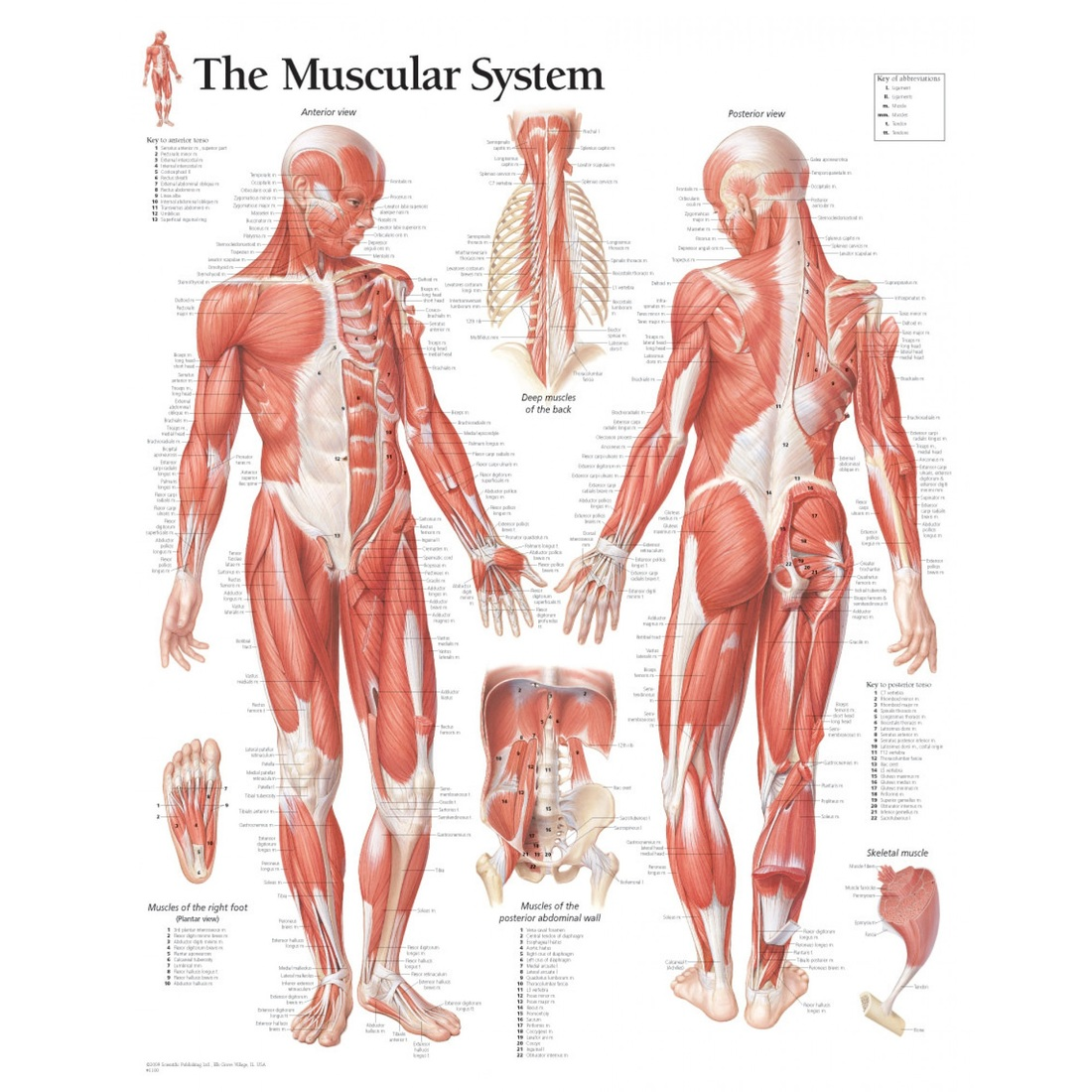 Muscles - Runyan-Grigsby\'s Science Page