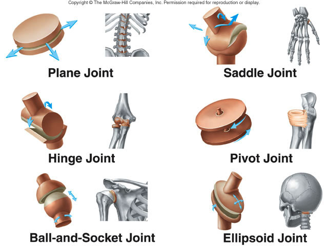Joints - Runyan-Grigsby's Science Page